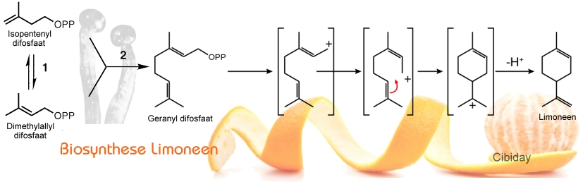 Biosynthese Limoneen