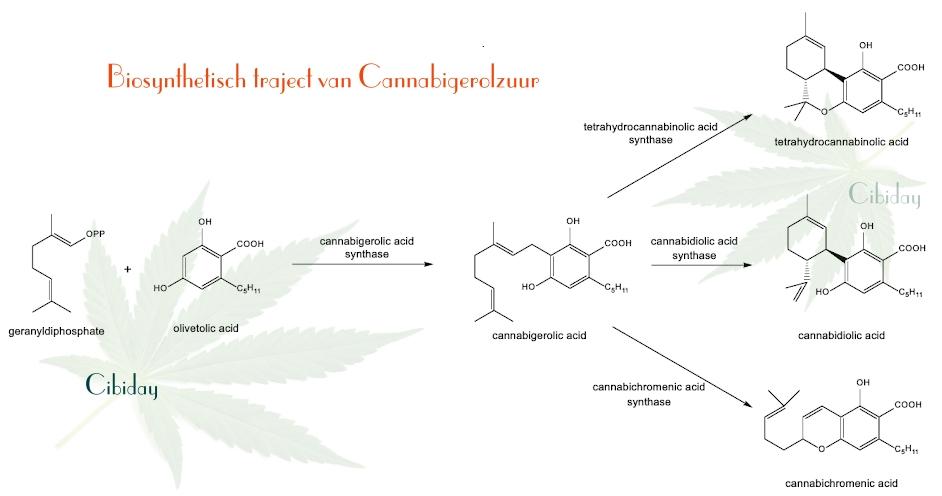 Biosynthese CBGA traject