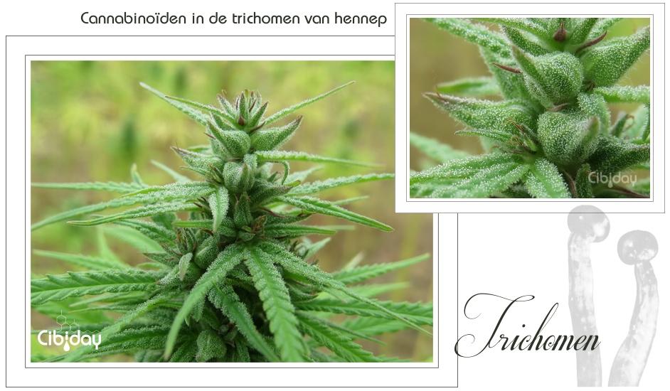 Cannabinoiden in Trichomen van Hennep