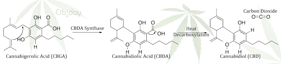 CBDA Synthase