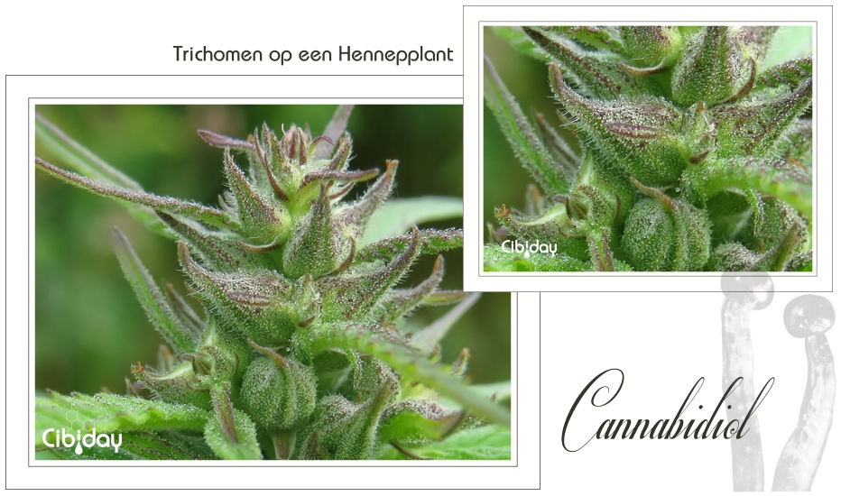 Trichomen op een hennepplant